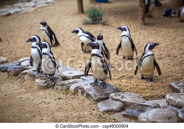 African penguins - csp48300904