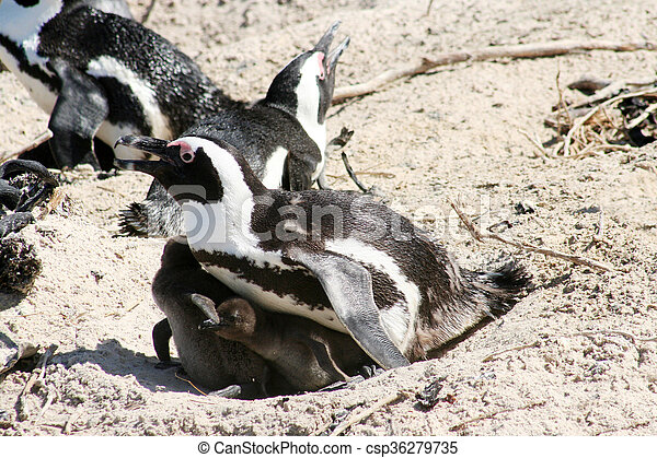 African Penguins - csp36279735