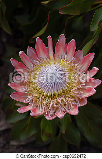 African Protea - csp0632472