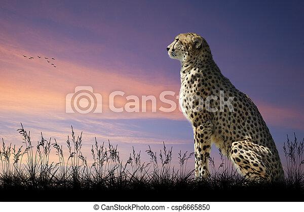 African safari concept image of cheetah looking out over savannah with beautiful sunset sky - csp6665850