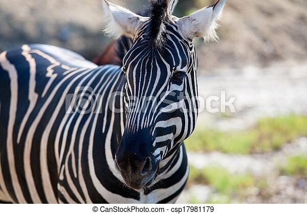 African Zebra portrait horizontal view - csp17981179
