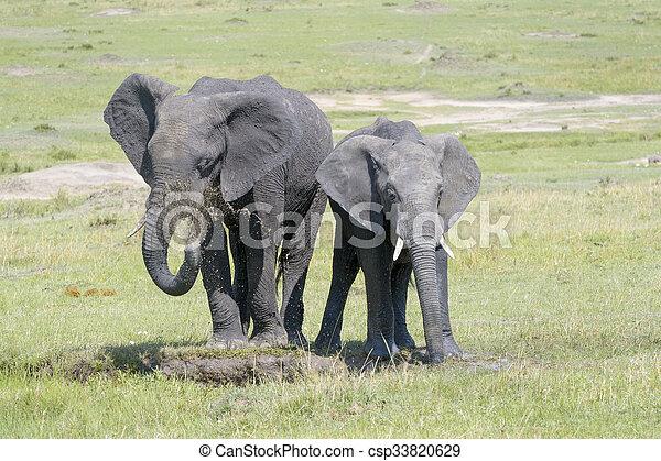 africana), (loxodonta, afrikaanse olifant - csp33820629
