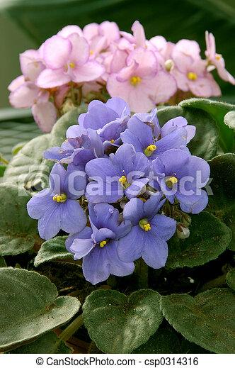 Violetas africanas (saintpaulia) - csp0314316