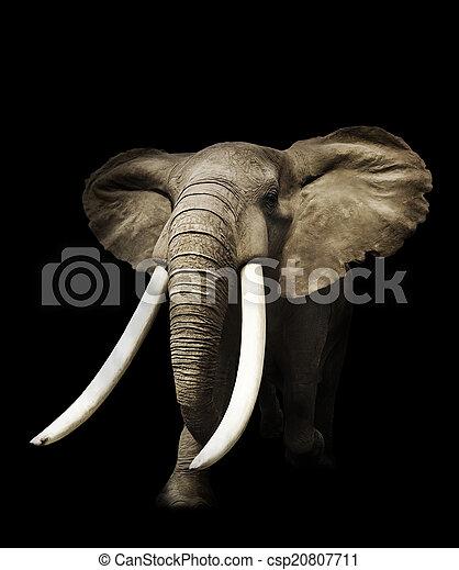 afrikaanse olifant - csp20807711