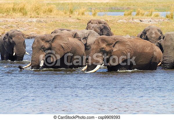 afrikaanse olifanten - csp9909393