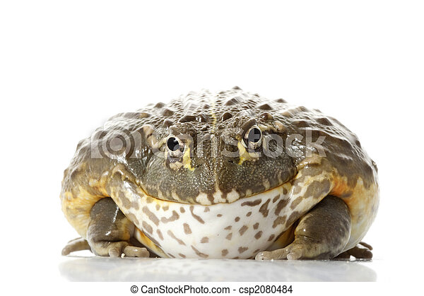 afrikansk, groda, bullfrog/pixie - csp2080484