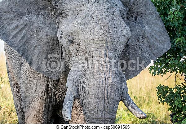 afsluiten, bull., oud, op, elefant - csp50691565