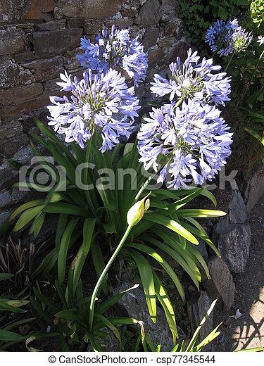 agapanthus in a garden - csp77345544