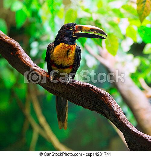 agarrado, pteroglossus, collared, toucan, aracari, torquatus - csp14281741