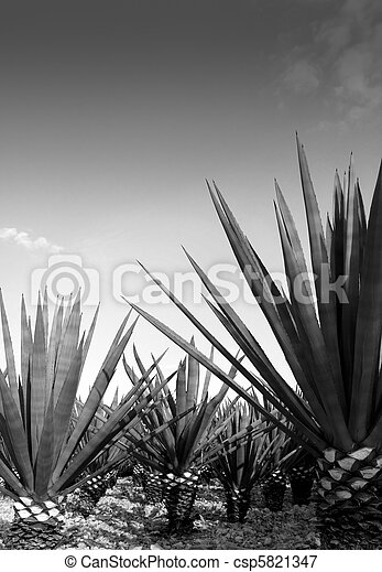 Agave tequilana plant for Mexican tequila liquor - csp5821347