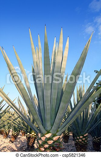 Agave tequilana plant for Mexican tequila liquor - csp5821346