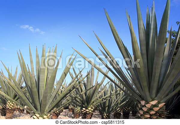 Agave tequilana plant for Mexican tequila liquor - csp5811315