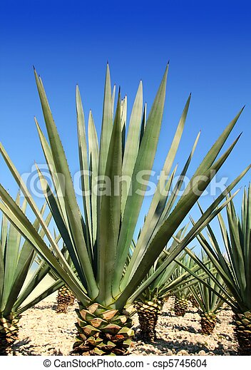 Agave tequilana plant for Mexican tequila liquor - csp5745604