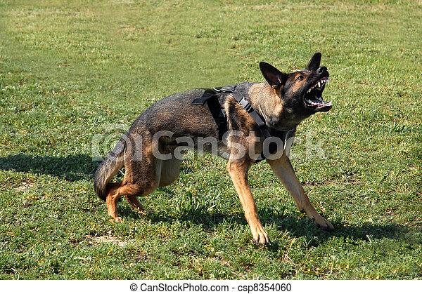 aggressive german shepherd - csp8354060