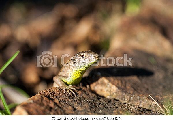 Agile lizard in its natural habitat - csp21855454