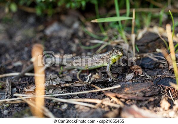 Agile lizard in its natural habitat - csp21855455