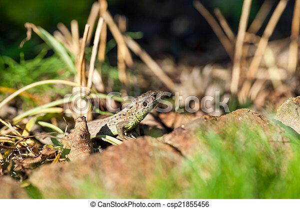 Agile lizard in its natural habitat - csp21855456