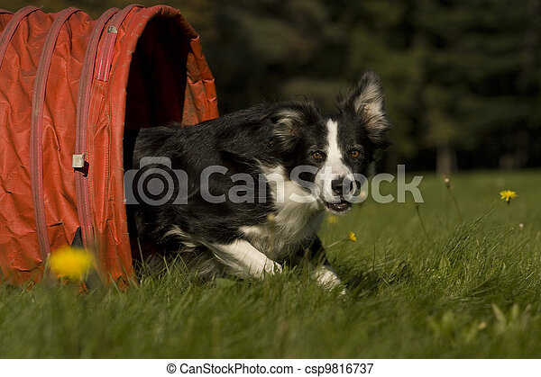 Agility - Dog skill competition. - csp9816737