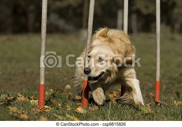 Agility - Dog skill competition. - csp9815826