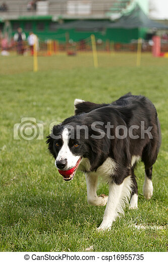 agility dog - csp16955735