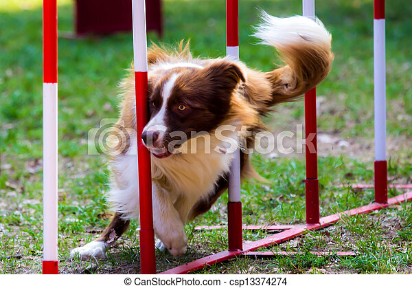 Agility dog with a red border collie - csp13374274