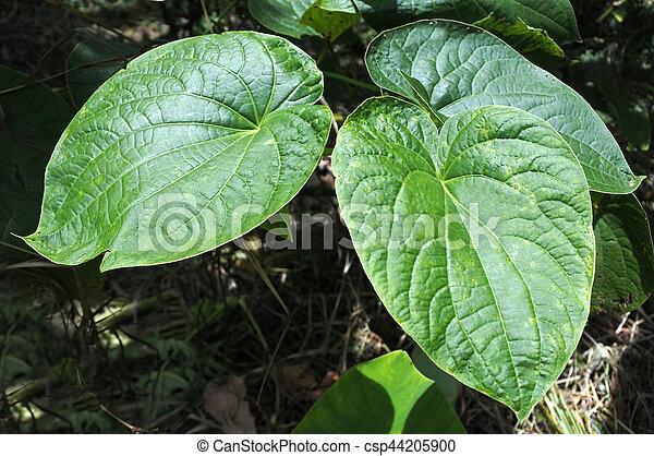 agricoltura, pianta, methysticum, figi, zampognaro - csp44205900