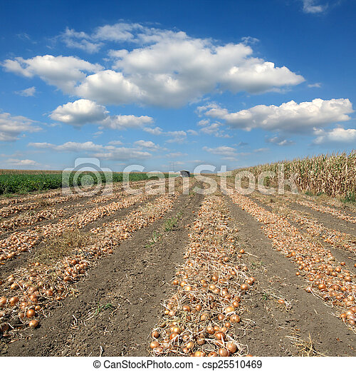 Agricultural scene, onion in field after harvest - csp25510469