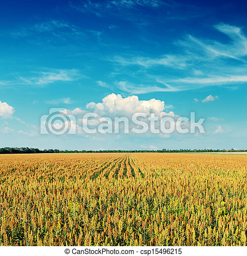 agriculture field and deep blue sky on sunset - csp15496215