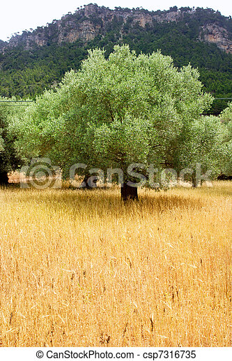 Agriculture from mediterranean Majorca wheat with olive - csp7316735
