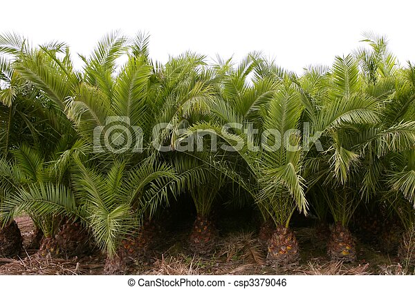 Agriculture of ornamental palm trees rows plantation  - csp3379046
