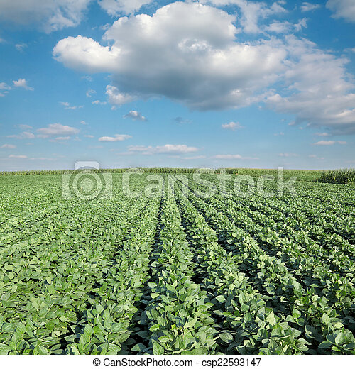 Agriculture, soy plant field - csp22593147
