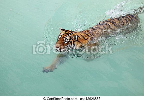 Una foto de un hermoso tigre en el agua - csp13626867