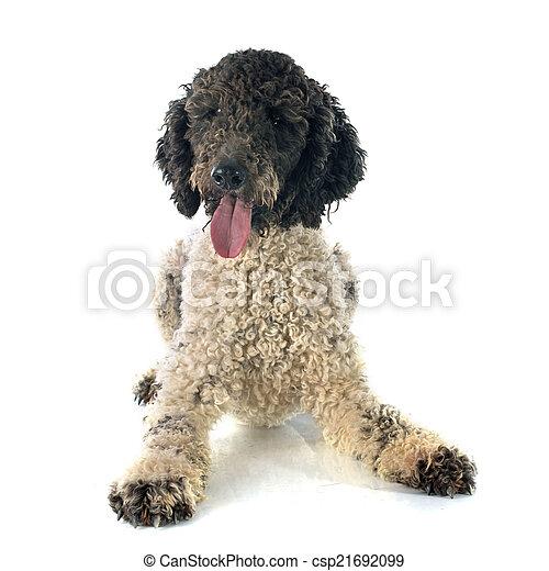 Perro de agua portugués - csp21692099