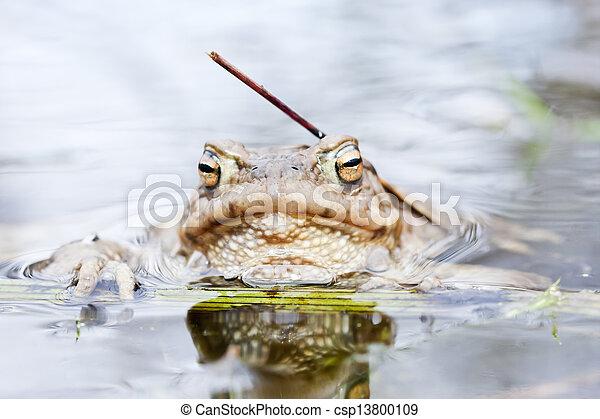 Rana en agua - csp13800109