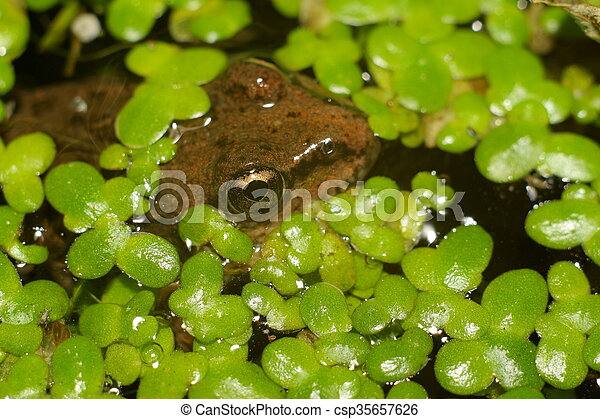 Rana en el agua - csp35657626