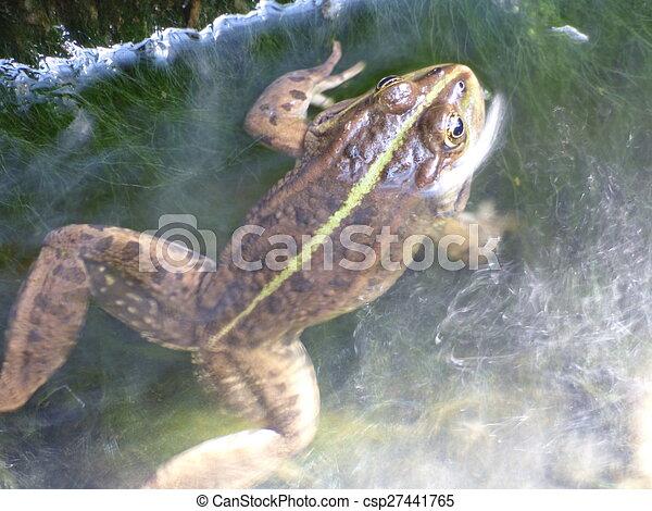 Rana en el agua - csp27441765