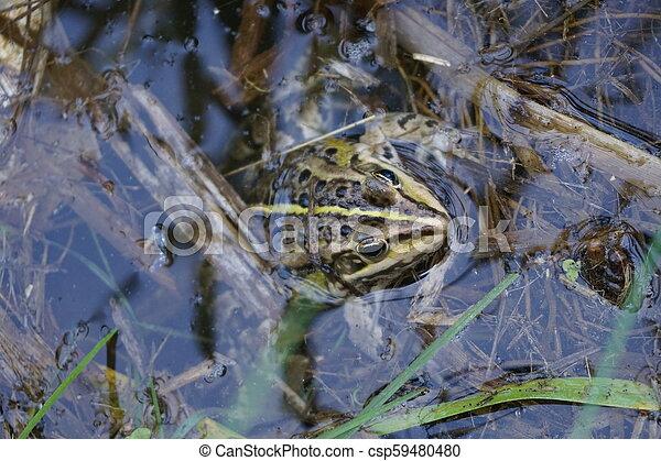 Rana en el agua - csp59480480