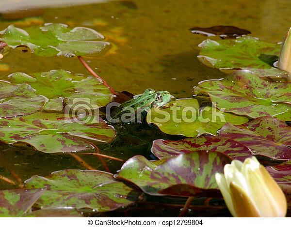 rana verde en agua - csp12799804
