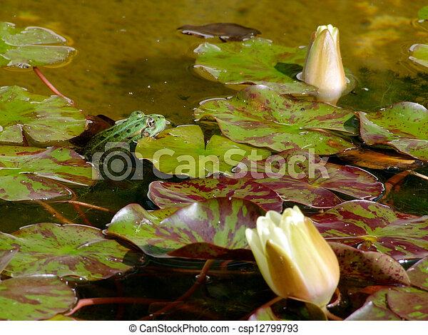 rana verde en agua - csp12799793