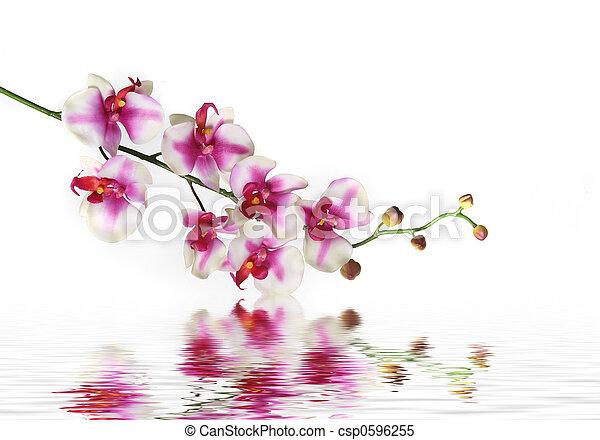 Un solo tallo de orquídea flor en el agua - csp0596255