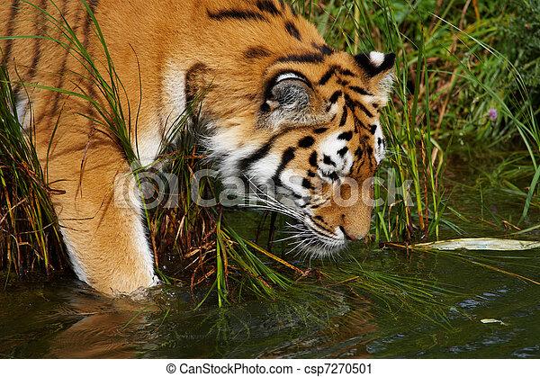 Tigre siberiano entrando al agua - csp7270501