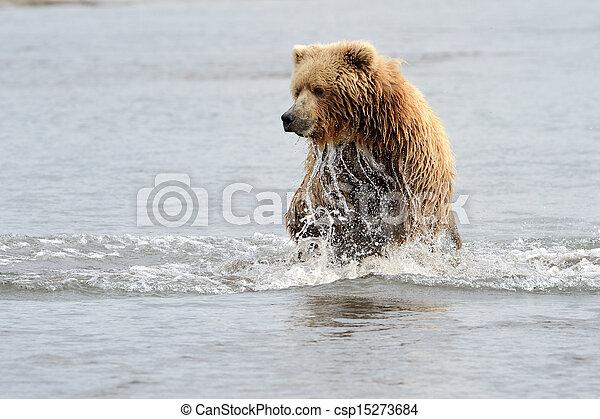 Oso Pardo pescando en aguas costeras - csp15273684