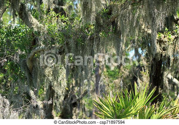 Musgo español colgando de una rama - csp71897594