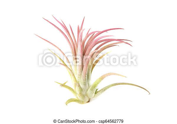 Air Plant Tillandsia Ionantha Houseplant Succulent No Pot