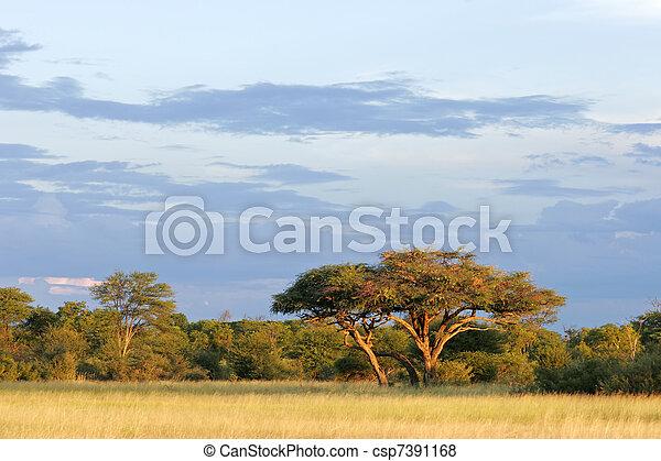 akacja, afrykańskie drzewo - csp7391168
