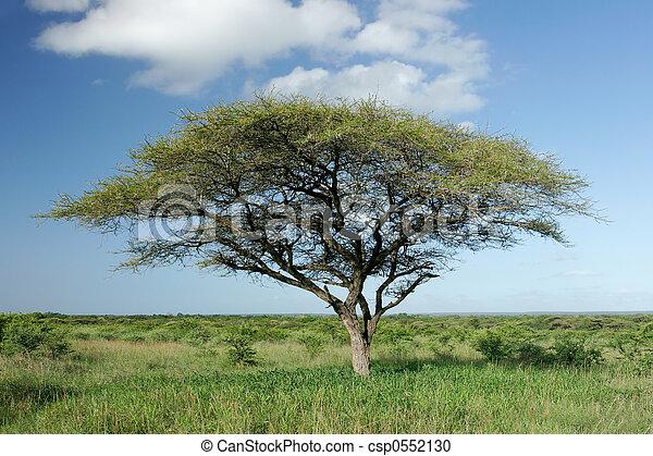 akacjowe drzewo, afrykanin - csp0552130