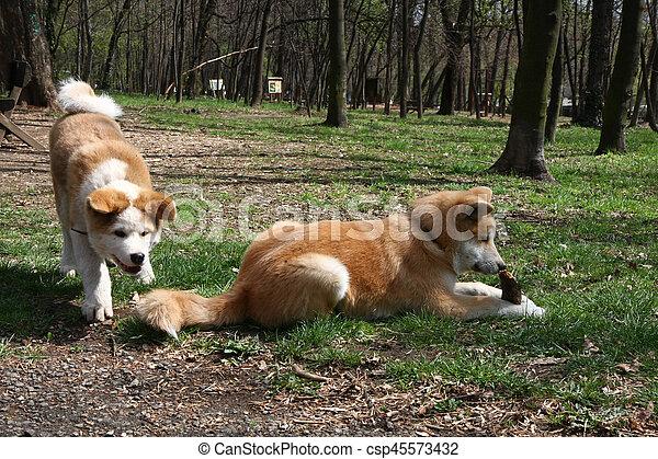 Akita Inu puppies - csp45573432
