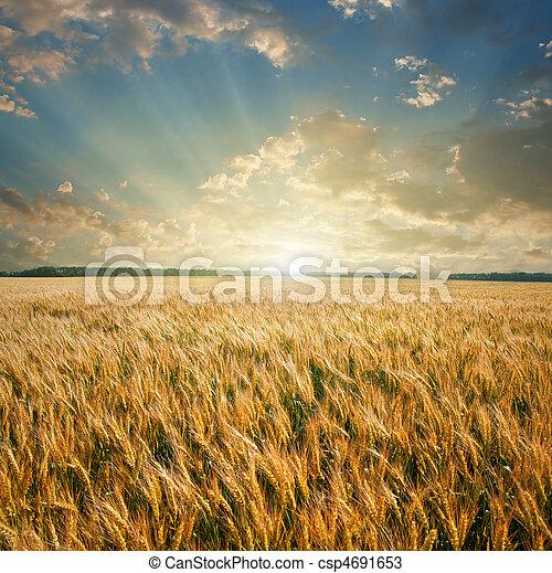 akker, tarwe, ondergaande zon  - csp4691653