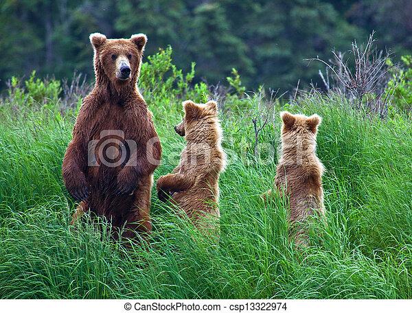 Un oso pardo en Alaska - csp13322974