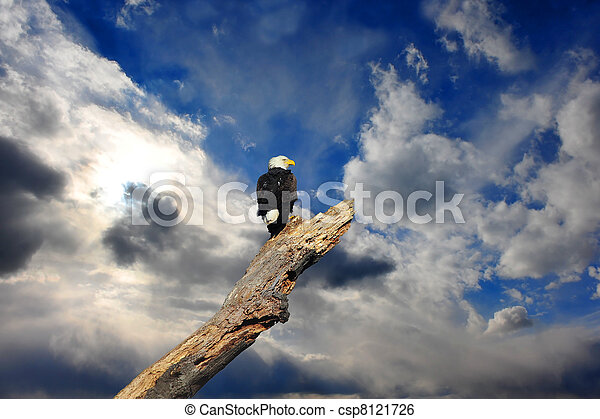 Alaskan Bald Eagle in tree with clouds - csp8121726